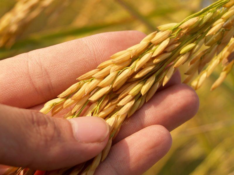 Crusca di riso scuro per ridurre il rischio di aterosclerosi